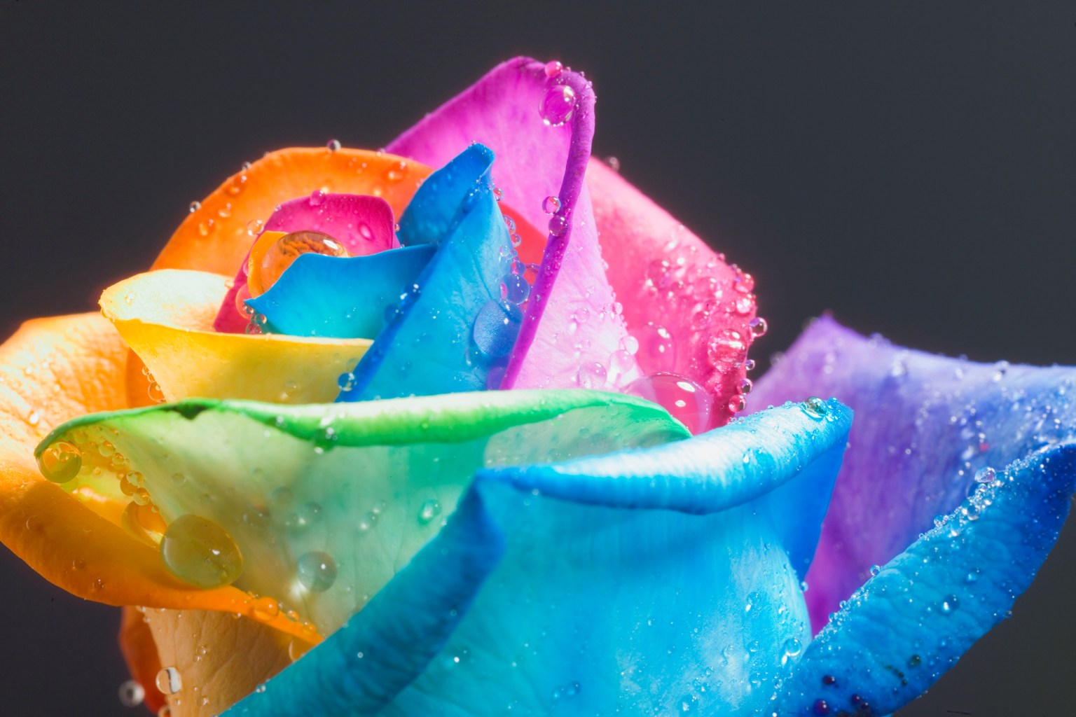 Rose and Photograph Wallpaper: Beautiful Rainbow rose ...