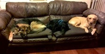 Three dogs on a sofa