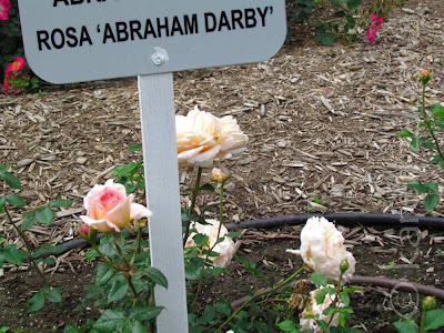 Pale peach pink rose Abraham Darby.