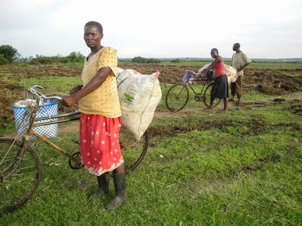 kenia, cosechas,