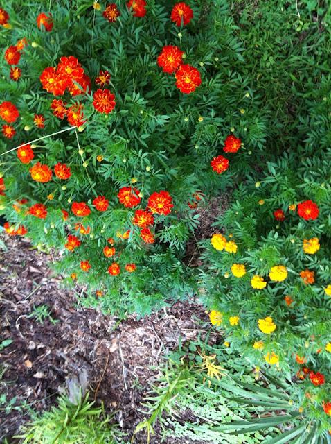 marigold bushes