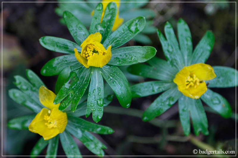 Yellow Winter Aconite Cluster