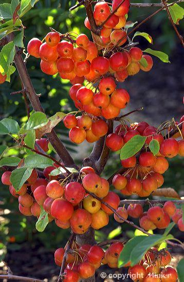 Plantas y flores for Plantas frutales
