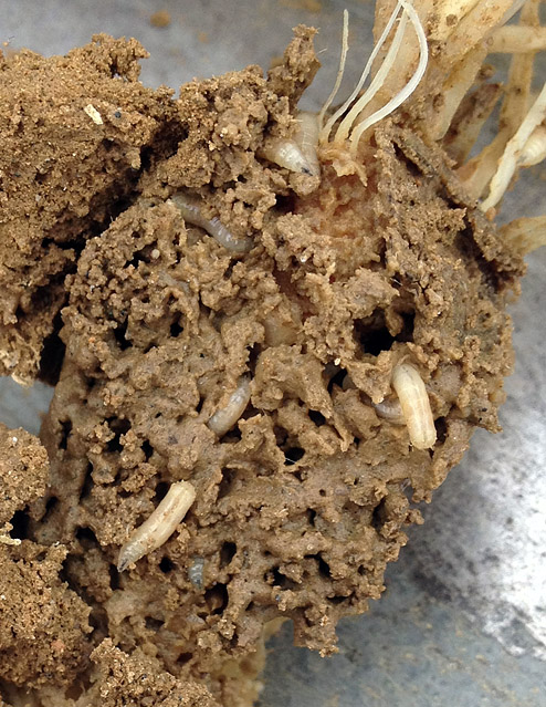 mound tragedy of the maggot commons