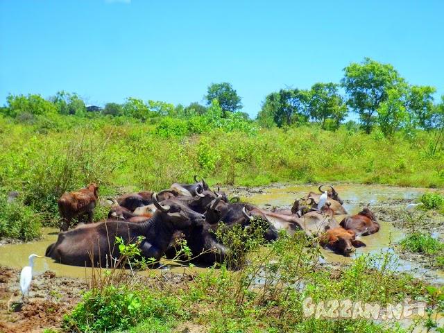 Buffalo Group Relax in Mud at Hambantota