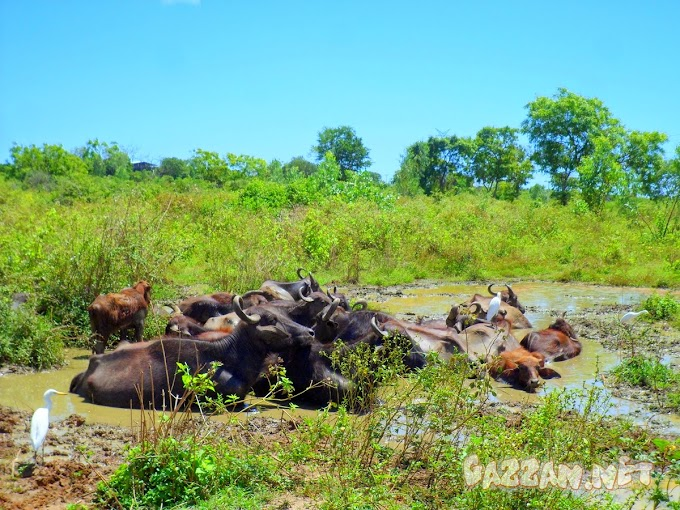 Buffalo Group Relax in Mud at Hambantota