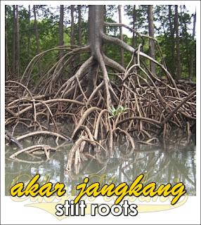 akar jangkang stilt roots