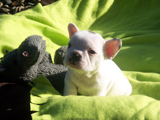 French Bulldog Puppies Wallpapers