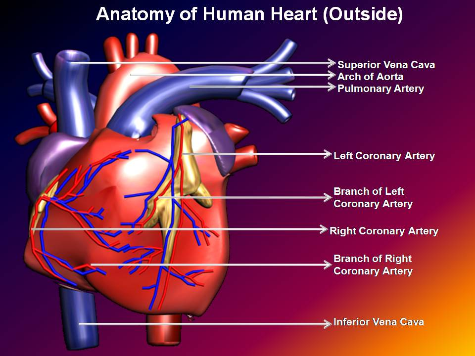 Subhaditya infoworld human heart unique pumping muscle for Exterior of heart diagram