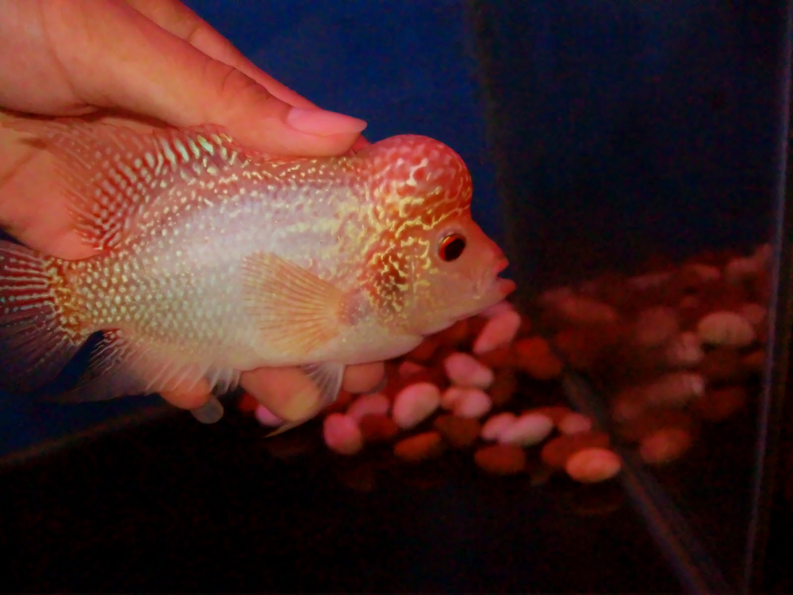 how to take care of baby parrot fish