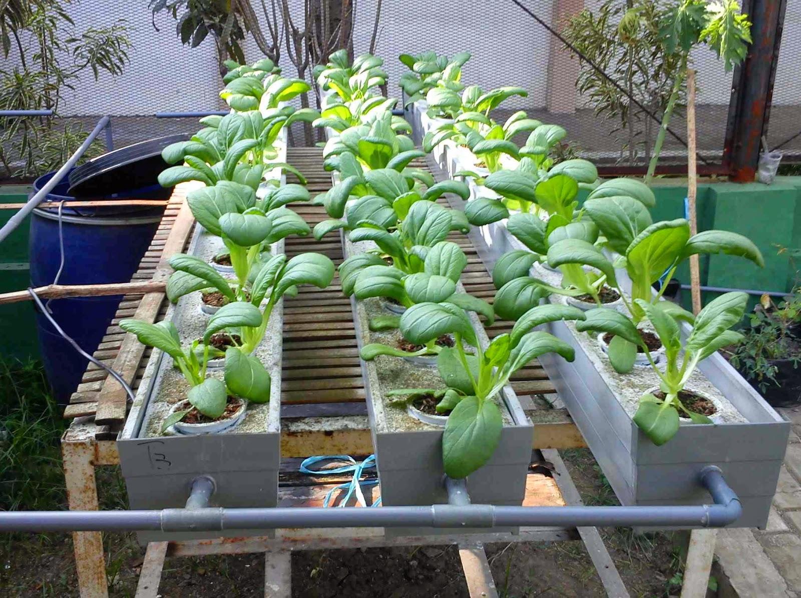 cara membuat nutrisi hidroponik pertanian