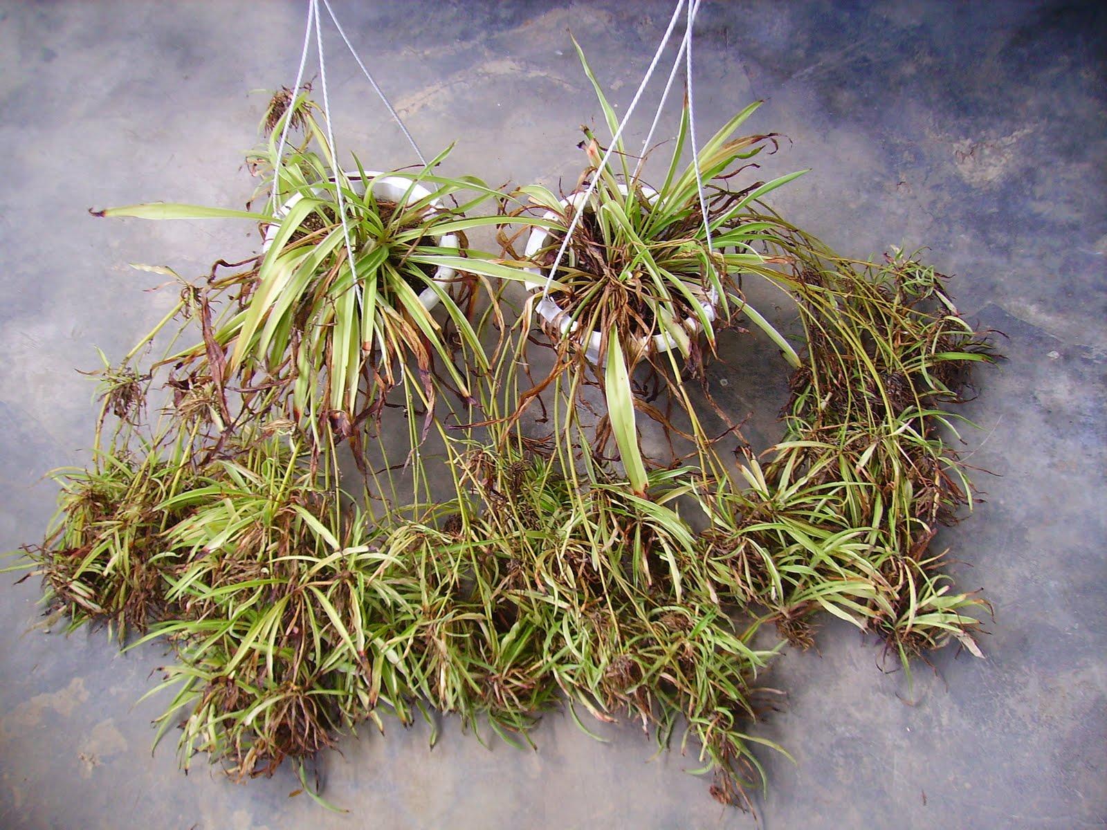 Garden Chronicles: Spider Plant - Chlorophytum comosum