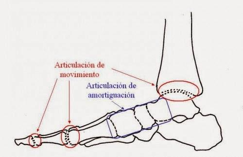 GUSTAVO PAVKA. PODÓLOGO........: Anatomía básica del pie