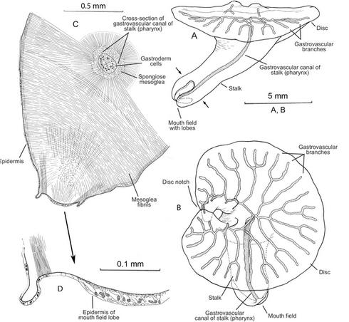 Dendrogramma enigmatica body anatomy