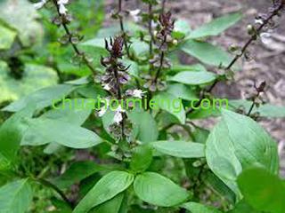 3 mẹo chữa hôi miệng bằng rau thơm hữu hiệu - cây hương nhu