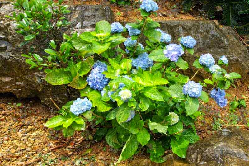blue and white hydrangea