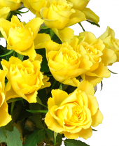Golden rose flowers by post