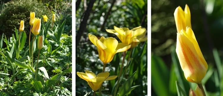 Smuk gul tulipan med røde streger