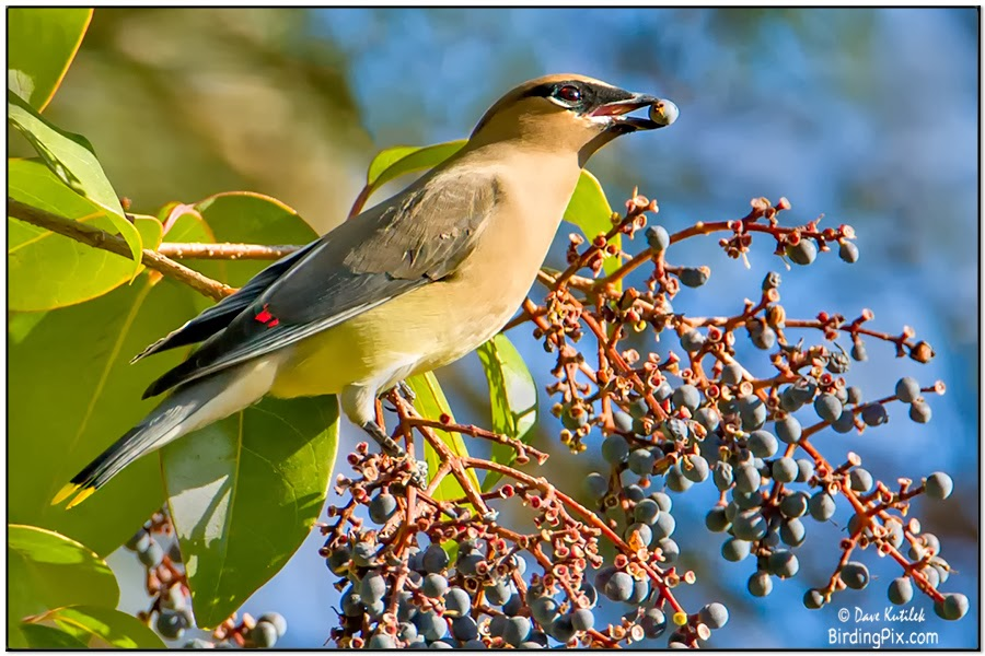 Cedar Waxwing at berries