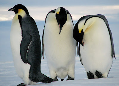 Emperor Penguin Pictures