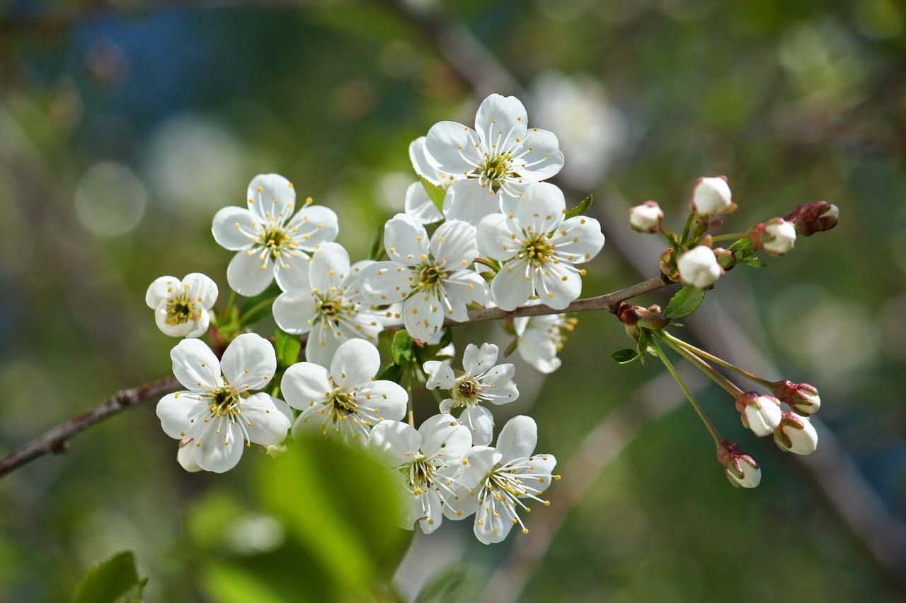 весенние цветы, тюльпаны, примула, мускари, красивые весенние цветы, первоцветы