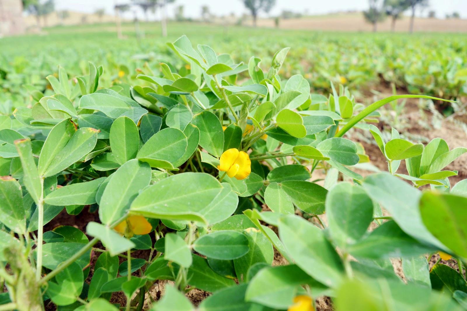 Groundnut flower