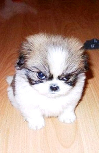 Pomranian puppy is shown being disgruntled. He seems not so fond of ...