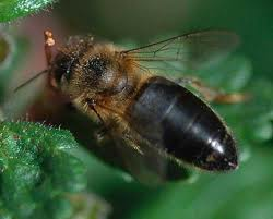 سلالات النحل فى مصر