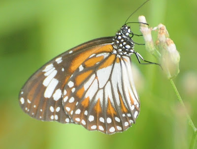 Mangrove Tiger butterfly (Danaus affinis malayanus)