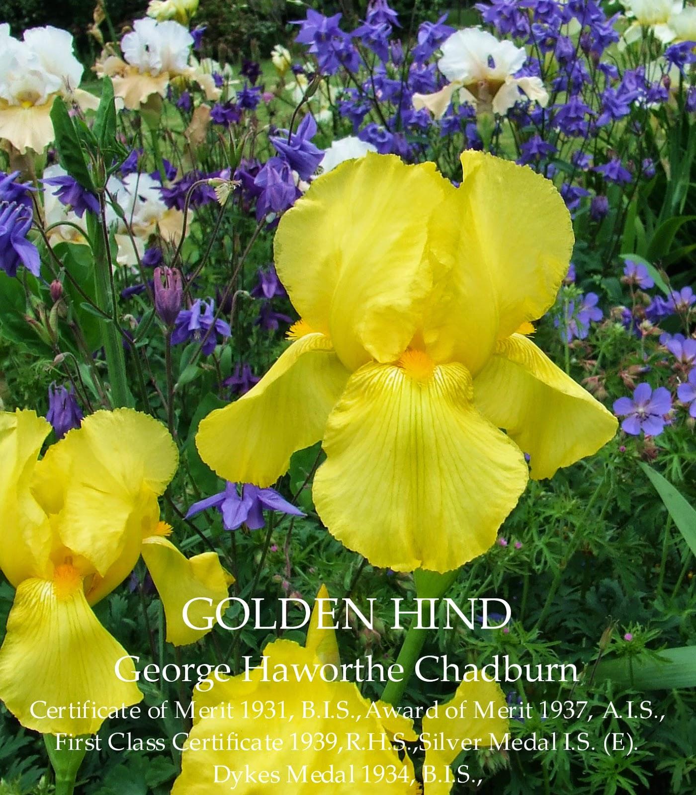 British Dykes Medal Tall Bearded Iris Golden Hind Heritage Irises