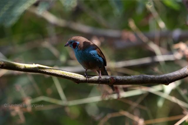 Blue-cheeked Cordon-bleu (Uraeginthus bengalus)