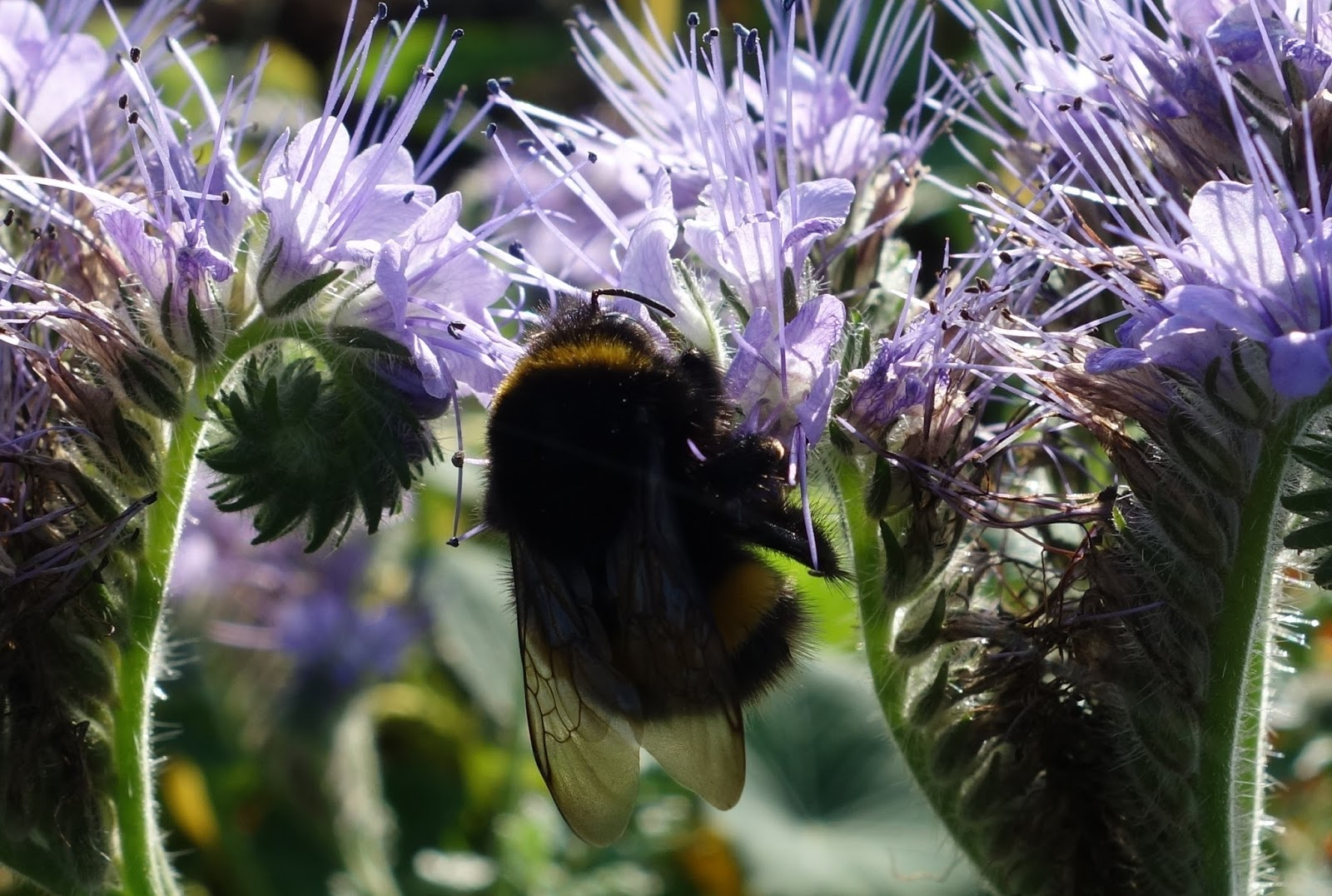 Phacelia (phacelia Tanacetifolia): A Great Plant For Bumblebees And  Butterflies Sow Directly Outside Where You Want It To Grow Also Good  Groundcover