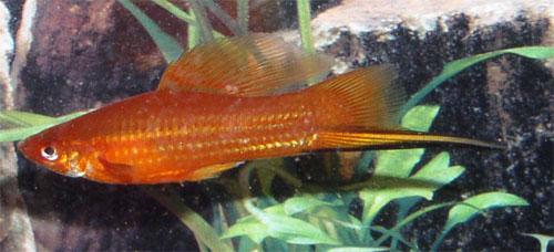 red-hifin-swordtail