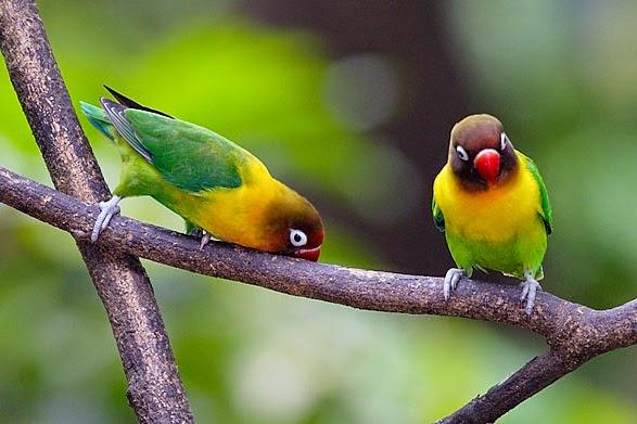 love bird ngekek