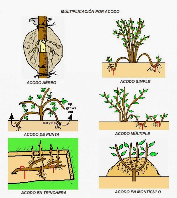 Permacultura del viento tipos de multiplicaci n por acodos for Planta ornamental que se reproduzca por esquejes