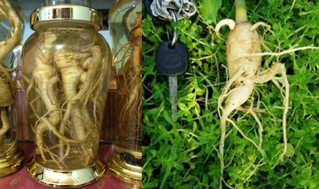 Bài thuốc rễ cây chùm ngây ngâm rượu