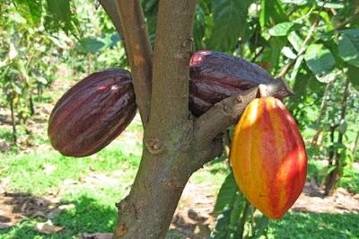 Sejarah Penemuan Coklat