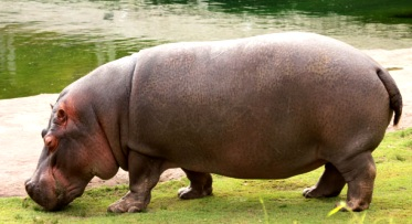 Hipopótamo de perfil