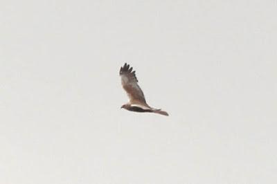 timbobagginsabroad, birds, raptors, breeding
