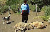 Pastor mapuche