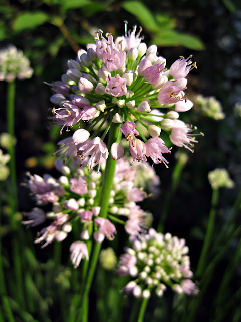 Allium Summer Beauty flowers