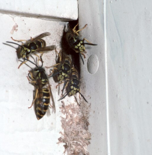 The Yardstead Wasp Queens Not A Sign Of Active Nests