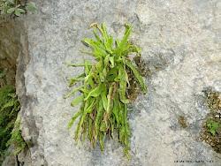 Pinguicula vallisneriifolia
