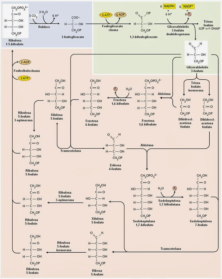 Fase oscura de la fotosíntesis (ciclo de Calvin) | Apuntes de ...