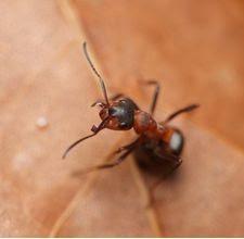 هل فعلا من الممكن أن يدخل النمل الى الدماغ عن طريق الأذن؟