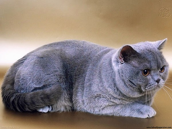 Photo d'un grand chat british shorthair