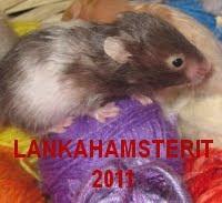 Lankahamsterit 2011