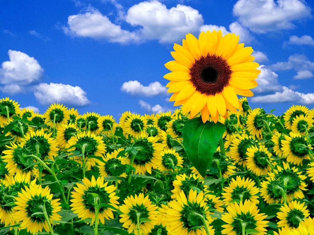 Gambar Taman Indah Bunga Matahari