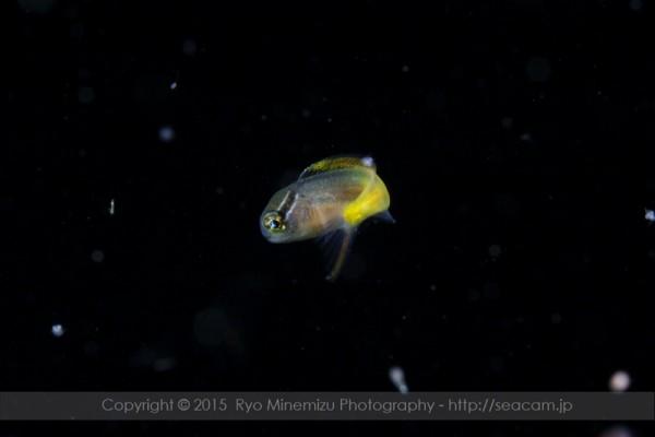 オウゴンニジギンポ幼魚2cm
