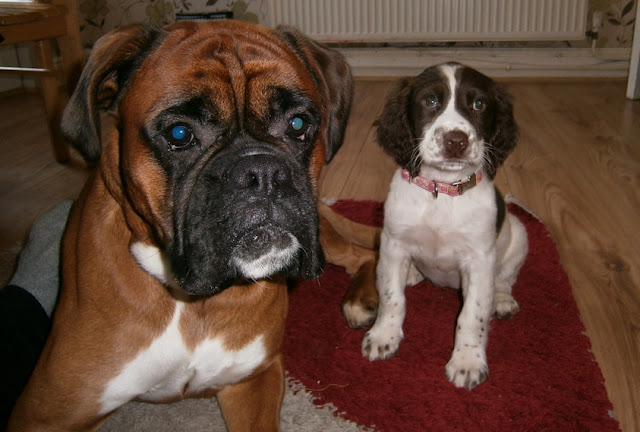 spinger spaniel puppy and boxer dog cute photo little and large
